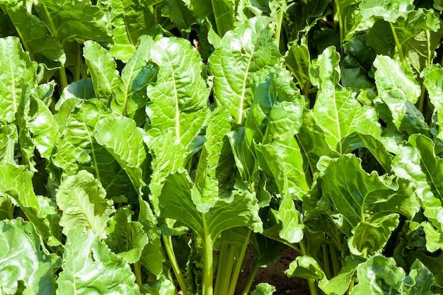 Зеленая ботва свеклы в сельском хозяйстве, летняя, сельскохозяйственная