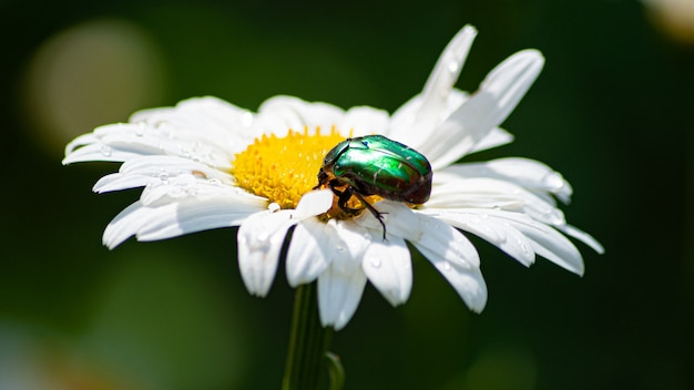 A green beetle sits on a daisy closeup
