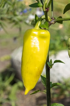 Green bell pepper growing on bush in the garden. bulgarian or sweet pepper plant.
