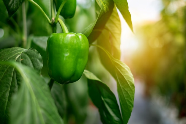 Green bell pepper hanging on the tree