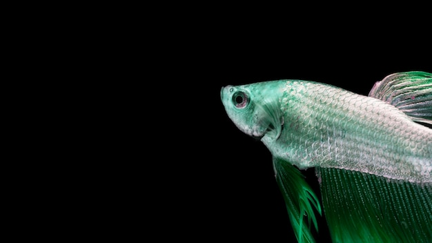 Green betta fish with copy space