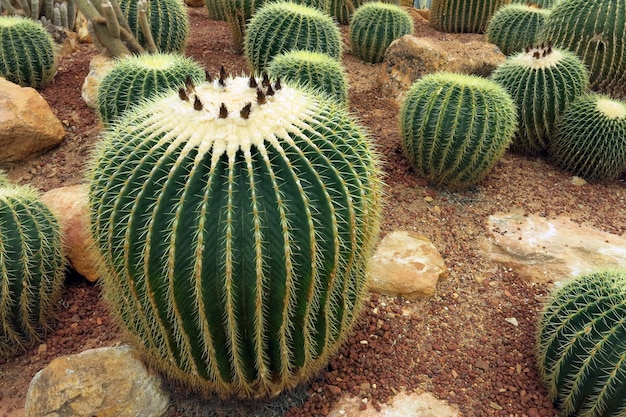 Green big golden barrel cactus with its sharp thorns on the ground in the garden