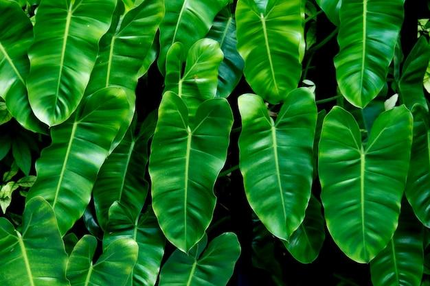 녹색 큰 잎 배경, 열대 숲과 자연의 모양과 느낌