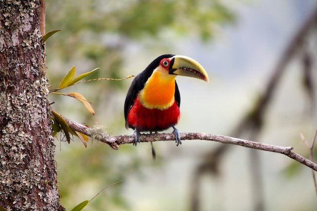 Green-billed toucan - red-breasted toucan