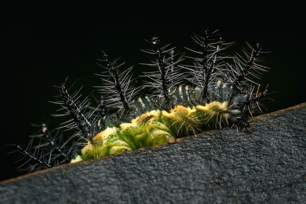 Green and black caterpillar on a wooden stake 0