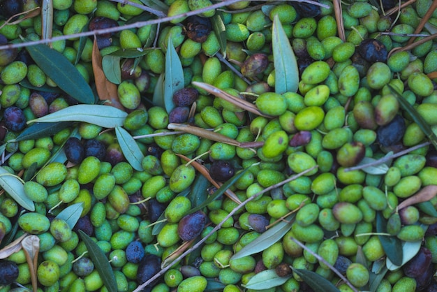 Green and black fresh olives background. harvesting in liguria, italy, taggiasca or caitellier cultivar. toned image.