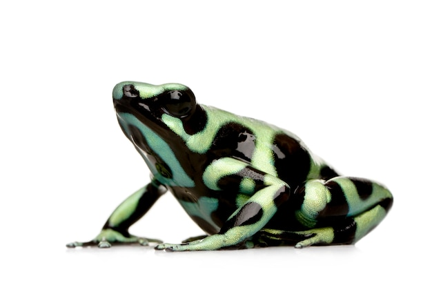 Green and black poison dart frog - dendrobates auratus on a white isolated
