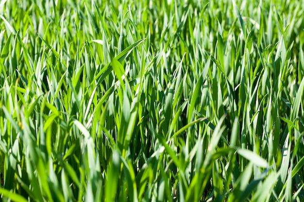 Зеленые стебли пшеницы или ржи в начале лета