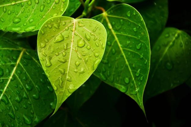 Green bo leaf after raining day