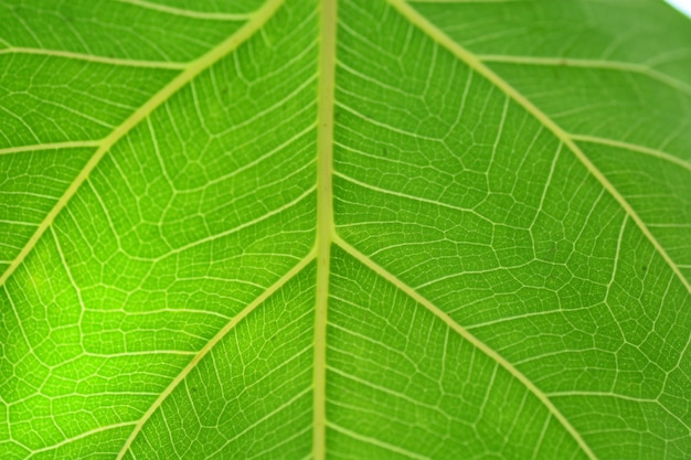The green bo leaf fiber abstract background closeup