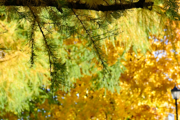 Green branch of fir on the background of an autumn park with colorful yellow foliage on the trees