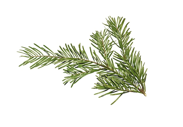 Зеленая ветвь ели, изолированные на белом фоне. ветвь рождественской елки.
