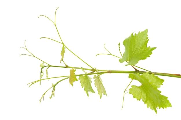 포도 덩굴 격리 된 흰색 배경의 녹색 지점입니다. 포도 나무 잎 장식.