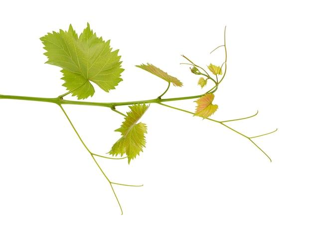 Зеленая ветвь виноградной лозы изолировала белый фон. весна с листьями виноградной лозы.