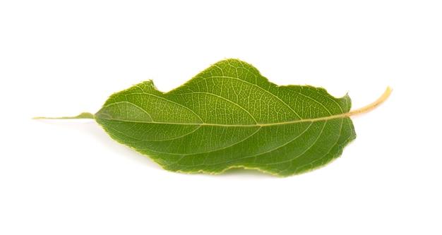 Зеленая ветка листьев киви, изолированные на белом фоне