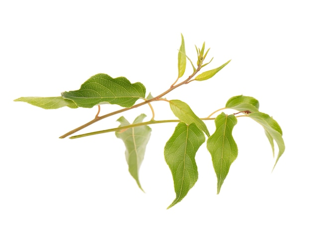 Зеленая ветка листьев киви изолированные