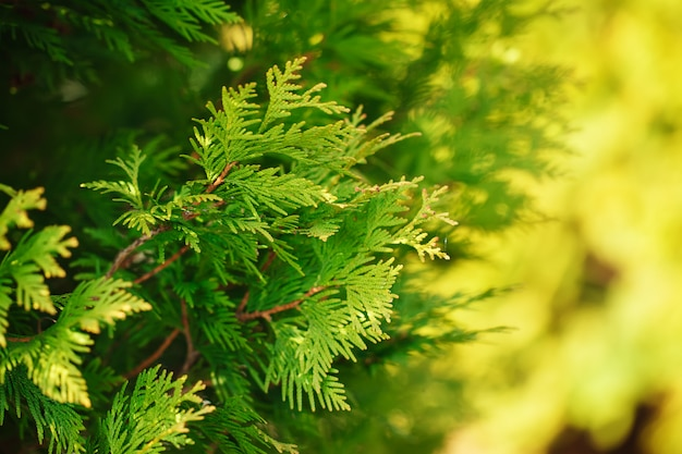 Green branch of a thuja on a yellow and green  background