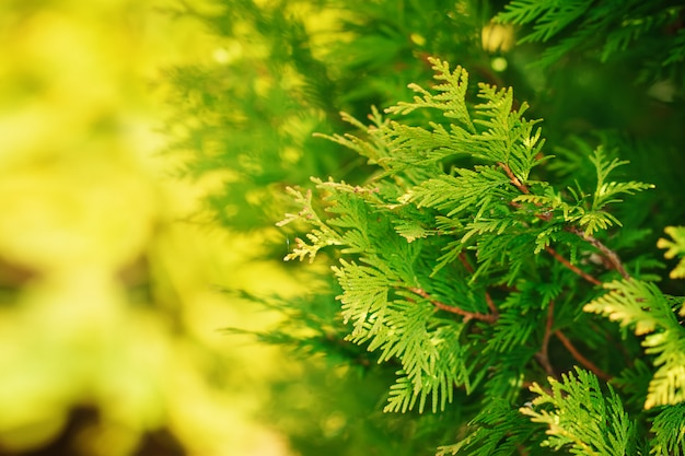 Green branch of a thuja on a yellow and green