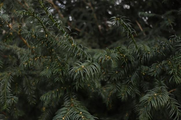 크리스마스 트리 같은 녹색 가지 덤불