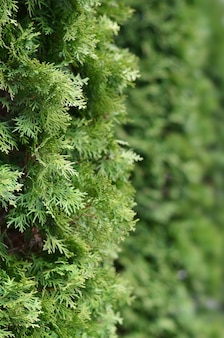 Green branches of a coniferous tree background