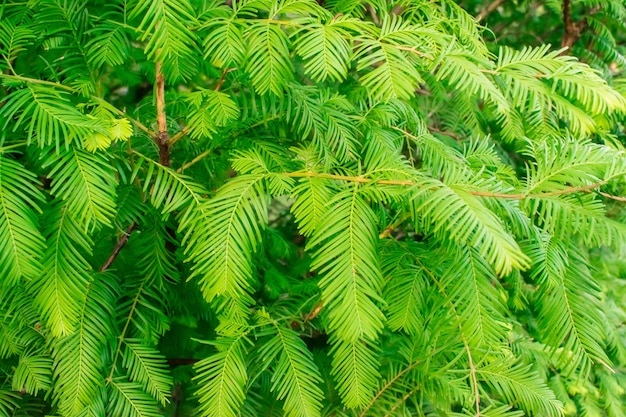 Green branches and leaves of the gold rush, dawn redwood