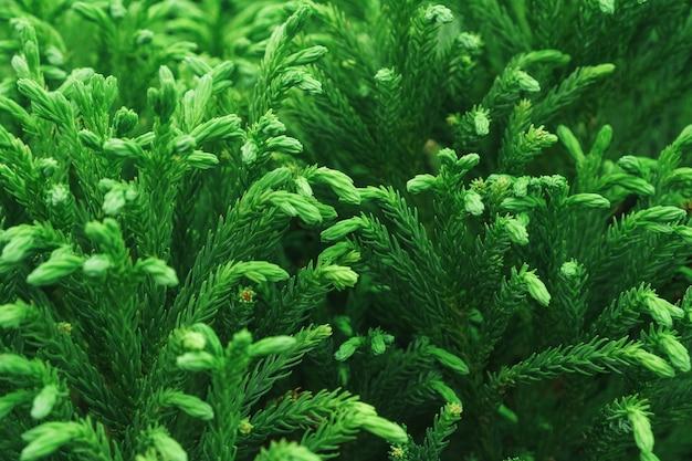 전체 화면에서 젊은 thuja 나무 클로즈업의 녹색 가지. 매크로
