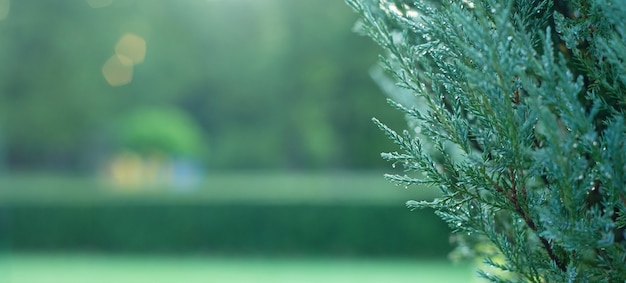 Зеленые ветки можжевельника