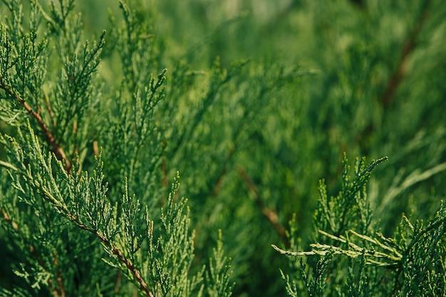 クロベの背景の選択的な焦点の緑の枝