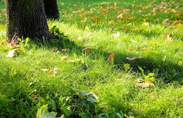Зеленая яркая трава, покрытая желтой сухой листвой, упавшая во время листопада с деревьев
