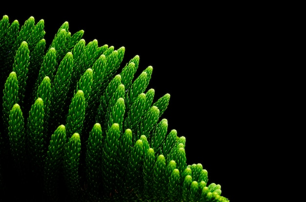 Green bright of star pine leaves (norfolk island pine)