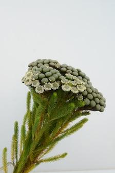 Green brunia albifloba plant on white background