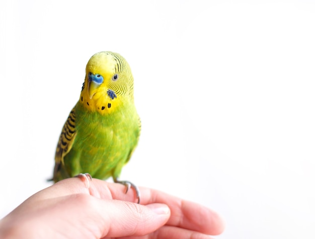 Зеленый волнистый попугайчик волнистый попугайчик сидит на руке человека
