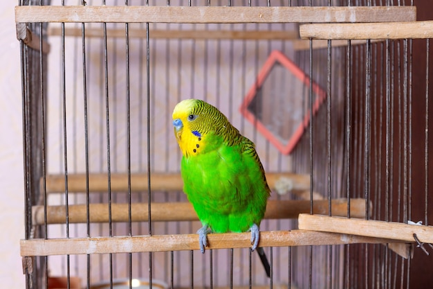 A green budgerigar is sitting at the exit from the cage. a caged mirror is visible in the background. free keeping of a decorative bird in the house.