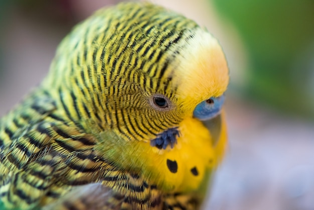 Green budgerigar parrot close up head portrait on blurred  background