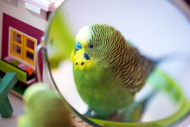 Зеленый попугай волнистый попугайчик крупным планом голова портрет смотреть в зеркало
