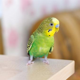 Зеленый волнистый попугайчик сидит на столе маленькая домашняя птица