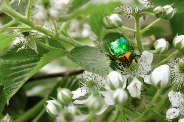 Зеленая черепашка cetonia aurata на цветок ежевики