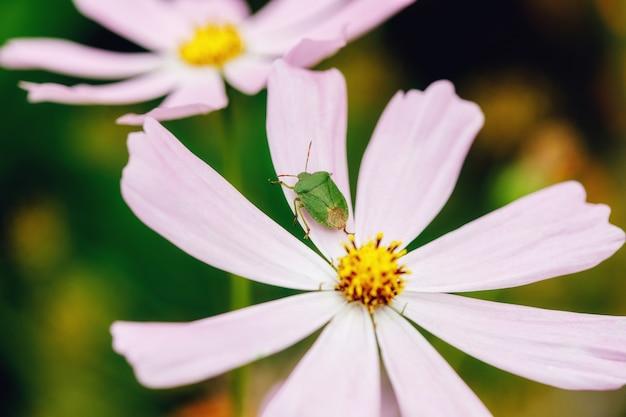 庭のフクシアの花の緑のバグ