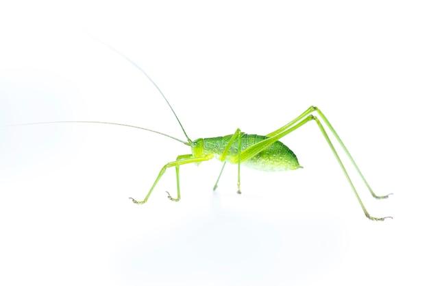 緑のキリギリスの長い角のあるバッタ。側面から。昆虫。動物