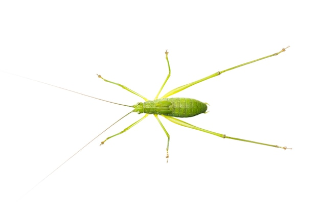 緑のキリギリスの長い角のあるバッタ。上面から。昆虫。動物
