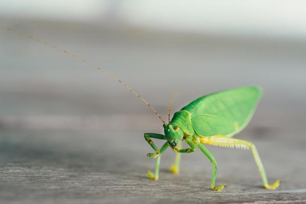 Green bush cricket or long-horned grasshopper licking legs on wooden floor