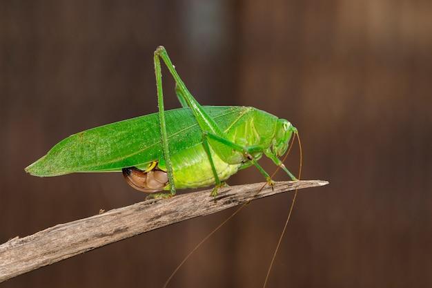 Зеленый куст-крикет длинный рогатый кузнечик на коричневой ветке.