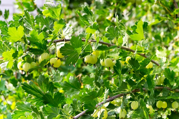 A green bush of gooseberry with berries in the garden on a sunny day