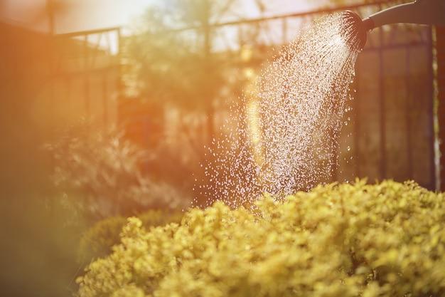 Зеленый куст поливают из лейки днем в саду солнечный день голубое небо и забор сада ...
