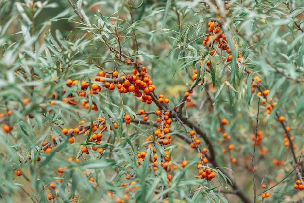 Green bush of juicy orange sea-buckthorn berries close up.