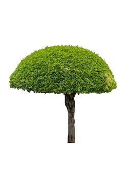 幹のある緑の茂みの形のガジュマルの木。白い背景で隔離