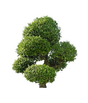 녹색 부시, 흰색 배경에 고립 된 열 대 나무.
