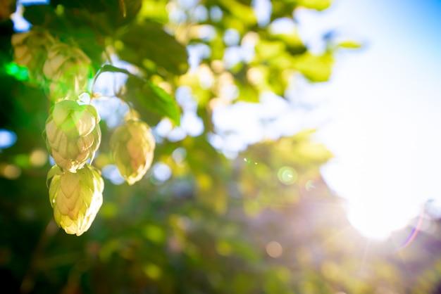 Green bushes of flowering hops in the sunlight