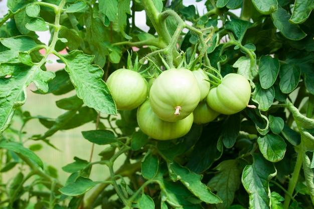 果物のクローズアップとトマトの緑の茂み