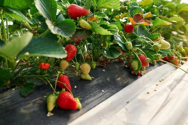 Cespugli verdi di fragole che crescono in file in serra